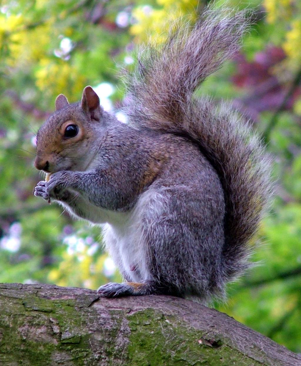 Gray Squirrel svg #10, Download drawings