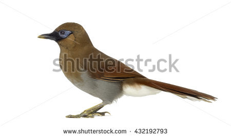 Gray-sided Laughing Thrush clipart #20, Download drawings