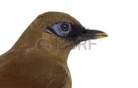 Gray-sided Laughing Thrush clipart #13, Download drawings