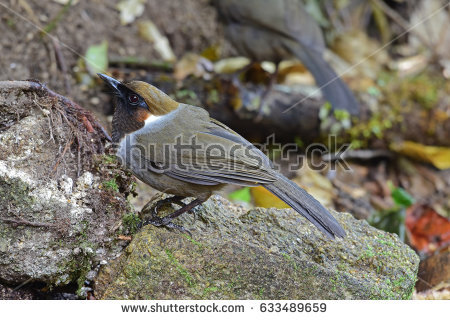 Gray-sided Laughing Thrush clipart #9, Download drawings