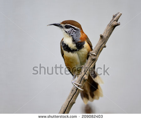 Gray-sided Laughing Thrush clipart #1, Download drawings