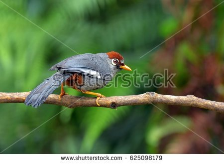 Gray-sided Laughing Thrush clipart #8, Download drawings