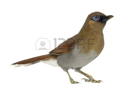 Gray-sided Laughing Thrush clipart #18, Download drawings