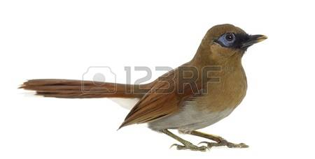 Gray-sided Laughing Thrush clipart #17, Download drawings