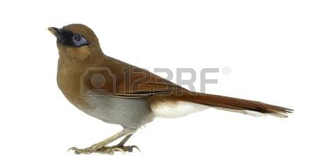 Gray-sided Laughing Thrush clipart #15, Download drawings