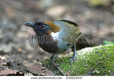 Gray-sided Laughing Thrush clipart #7, Download drawings