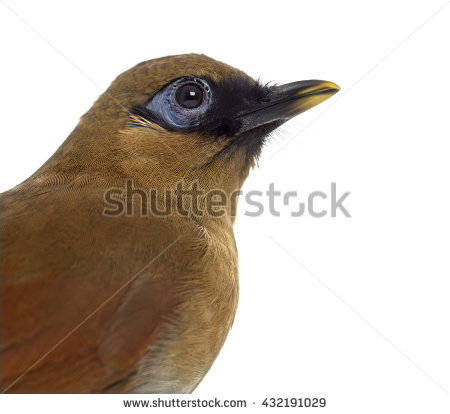 Gray-sided Laughing Thrush clipart #16, Download drawings