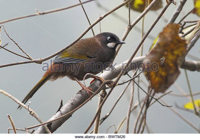 Gray-sided Laughing Thrush coloring #8, Download drawings