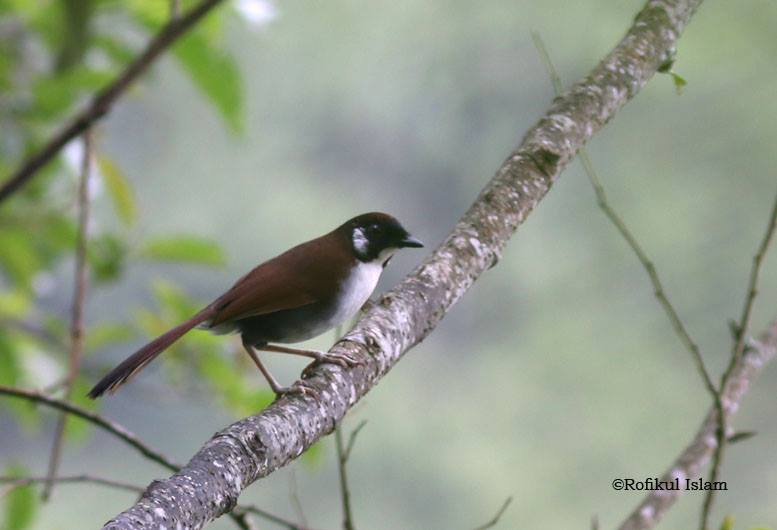 Gray-sided Laughing Thrush coloring #6, Download drawings