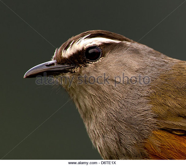 Gray-sided Laughing Thrush coloring #4, Download drawings