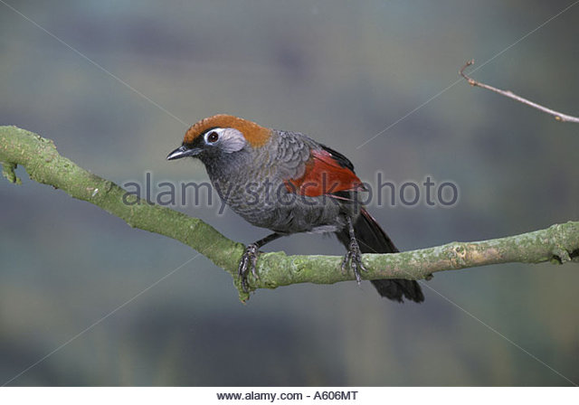 Gray-sided Laughing Thrush coloring #19, Download drawings