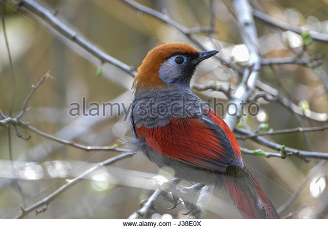 Gray-sided Laughing Thrush coloring #14, Download drawings