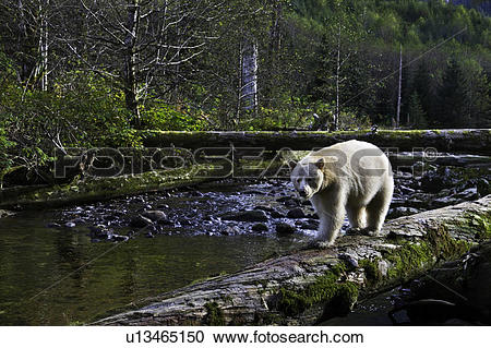 Great Bear Rainforest clipart #20, Download drawings