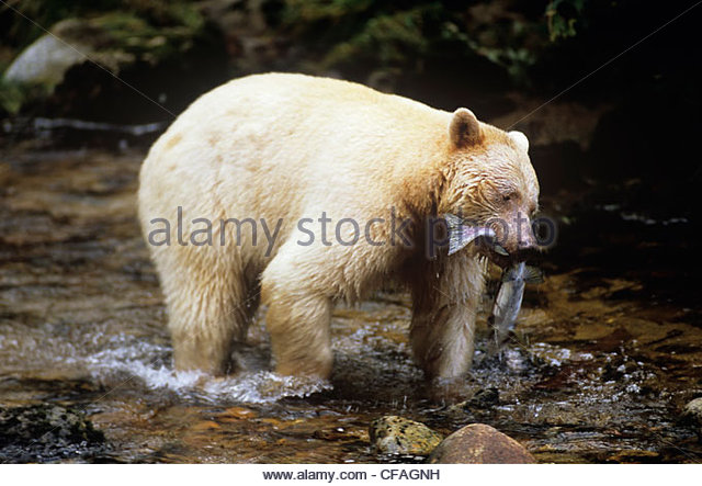 Great Bear Rainforest clipart #12, Download drawings