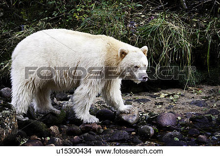 Kermode Bear clipart #11, Download drawings