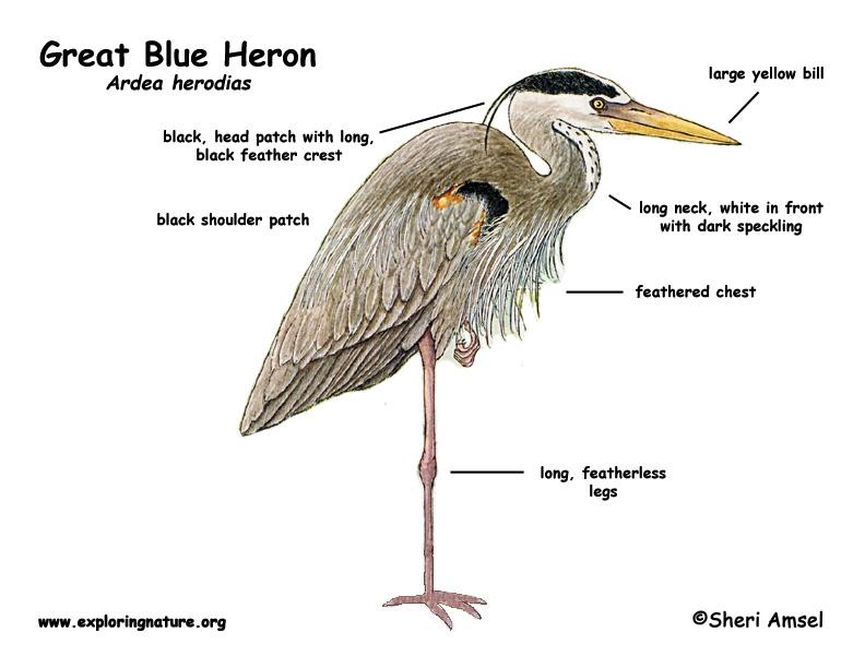 Great Blue Heron coloring #6, Download drawings