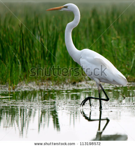 Great Egrets clipart #1, Download drawings
