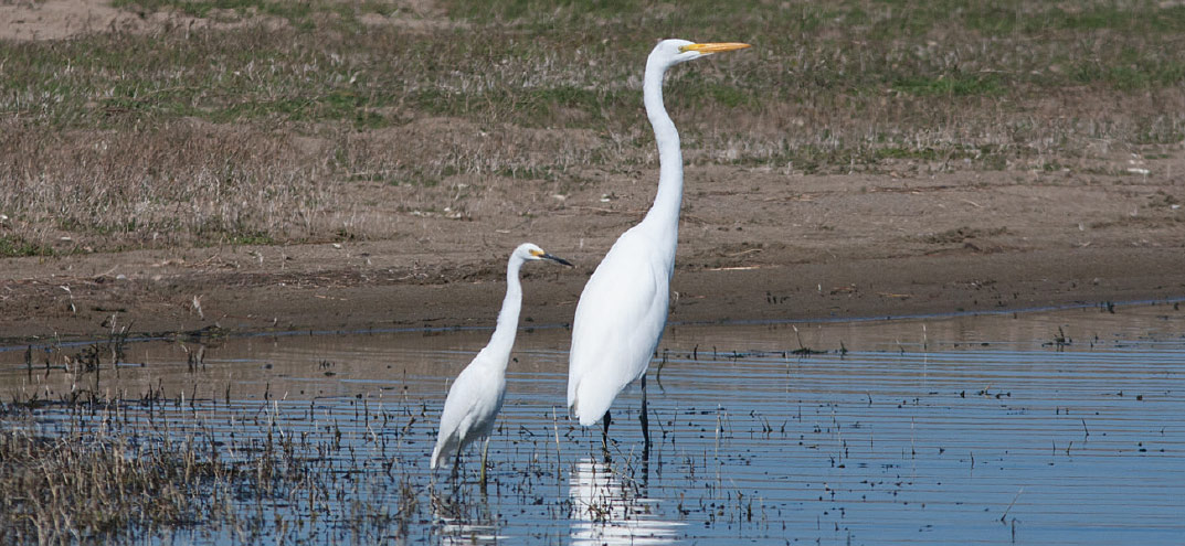 Great Egrets coloring #7, Download drawings