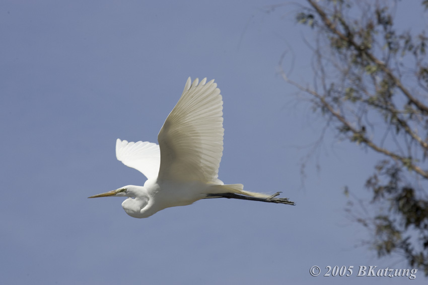 Great Egrets coloring #1, Download drawings