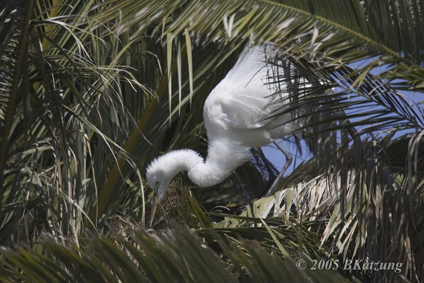 Great Egrets coloring #4, Download drawings