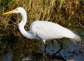 Great Egrets coloring #2, Download drawings