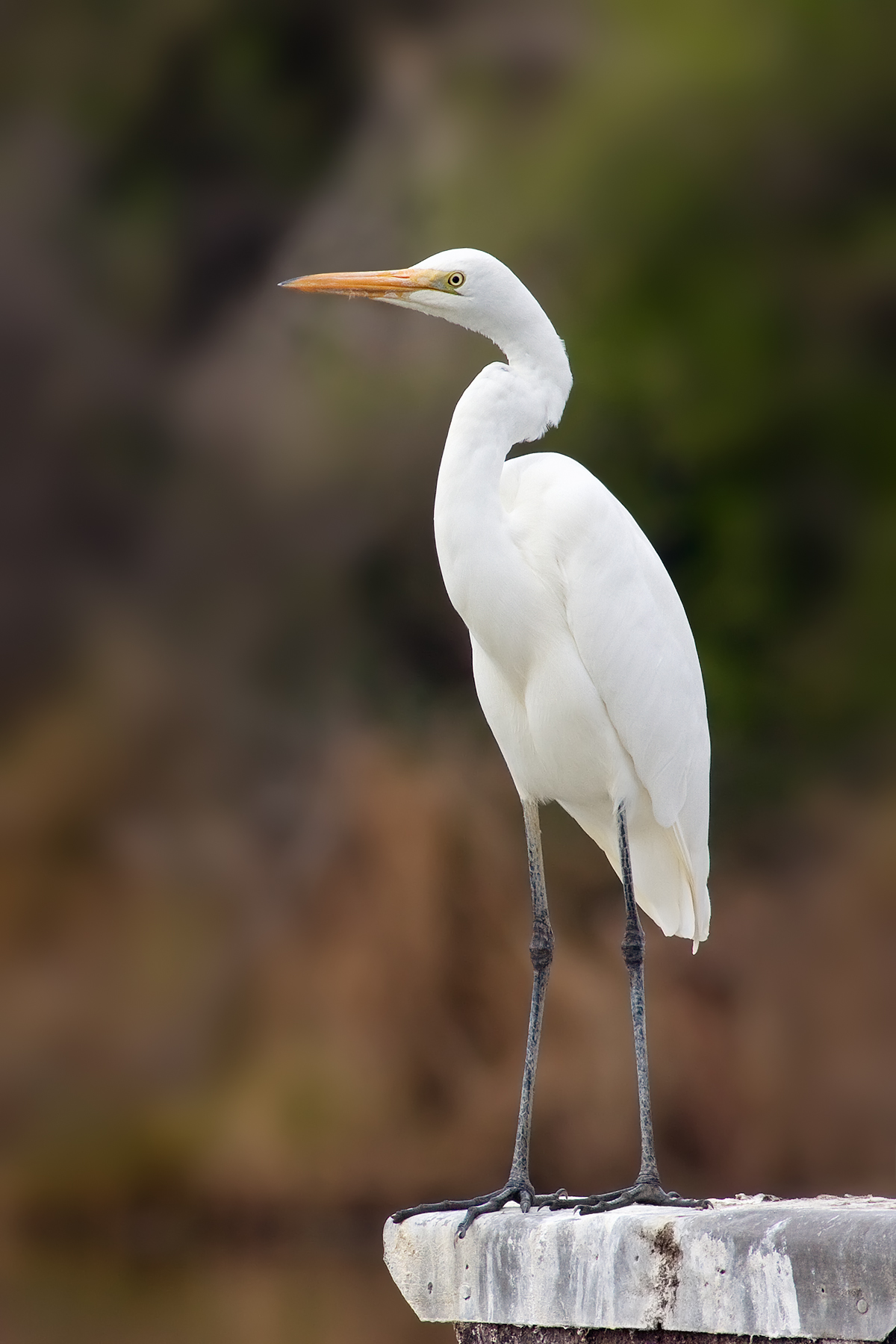 Great Egrets svg #4, Download drawings