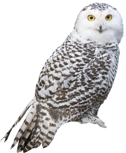 Great Gray Owl clipart #4, Download drawings