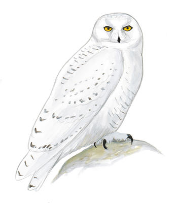 Great Gray Owl clipart #14, Download drawings