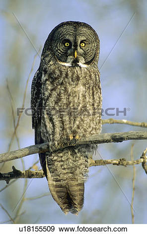 Great Gray Owl clipart #8, Download drawings