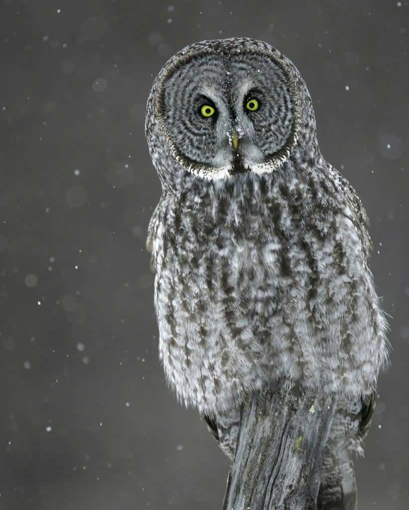 Great Gray Owl clipart #16, Download drawings