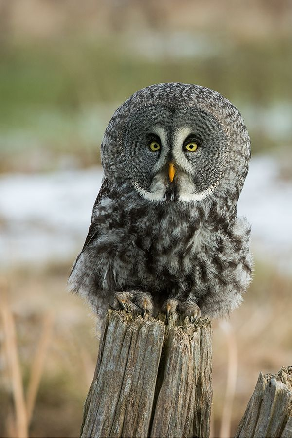 Great Gray Owl clipart #1, Download drawings