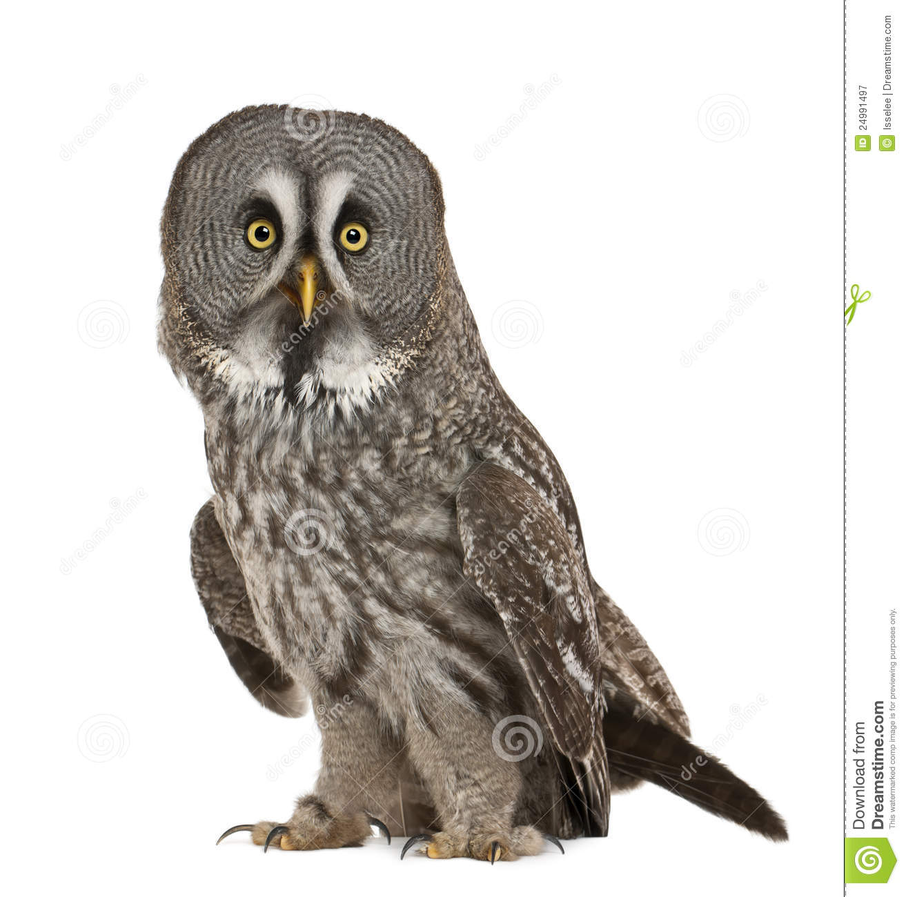 Great Gray Owl clipart #19, Download drawings