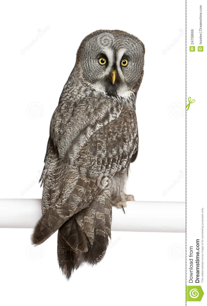 Great Gray Owl clipart #20, Download drawings