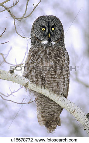 Great Gray Owl clipart #15, Download drawings