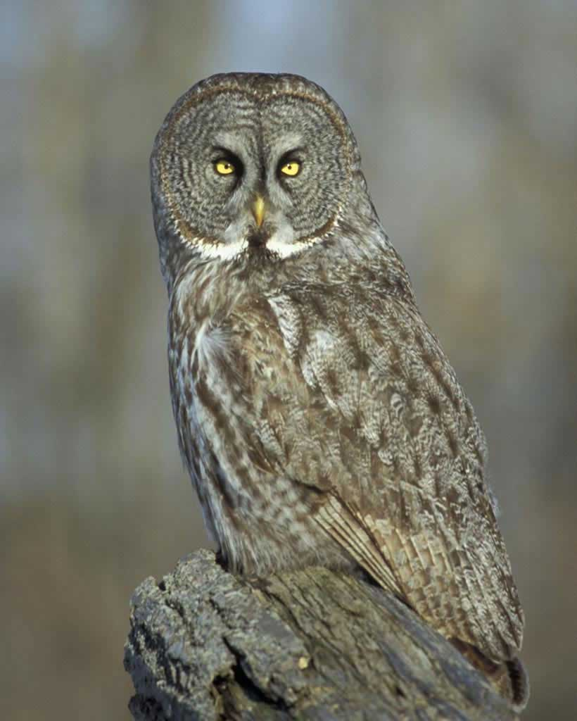 Great Gray Owl clipart #12, Download drawings