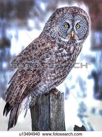Great Gray Owl clipart #13, Download drawings