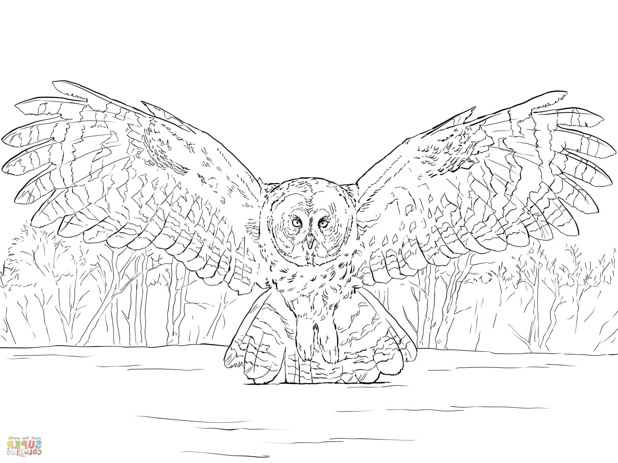 Great Gray Owl coloring #5, Download drawings