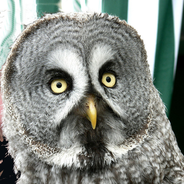 Great Gray Owl svg #7, Download drawings