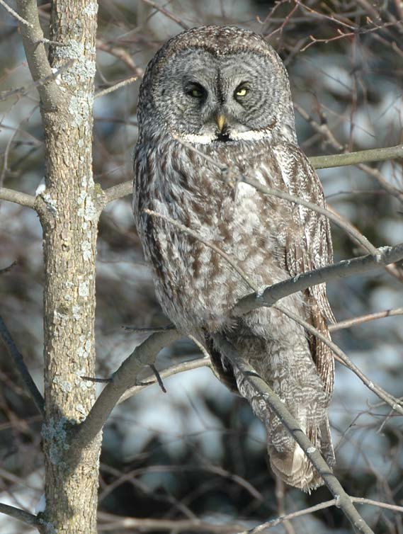 Great Gray Owl svg #12, Download drawings