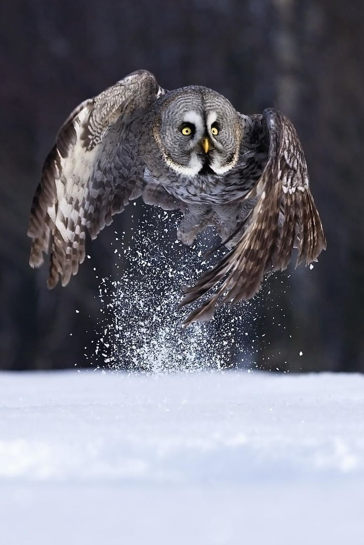 Great Gray Owl svg #1, Download drawings
