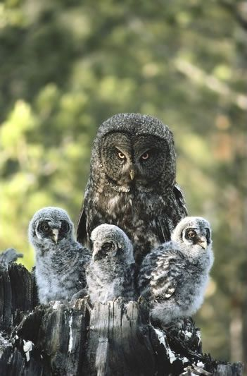Great Gray Owl svg #19, Download drawings