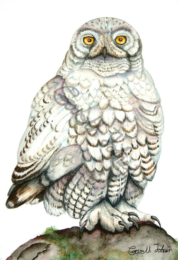 Great Gray Owl svg #10, Download drawings