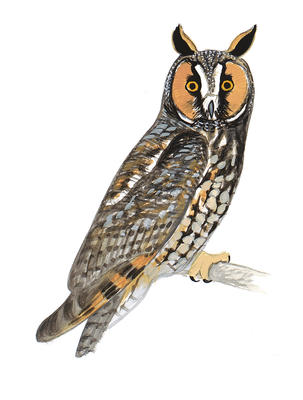 Short-eared Owl clipart #1, Download drawings