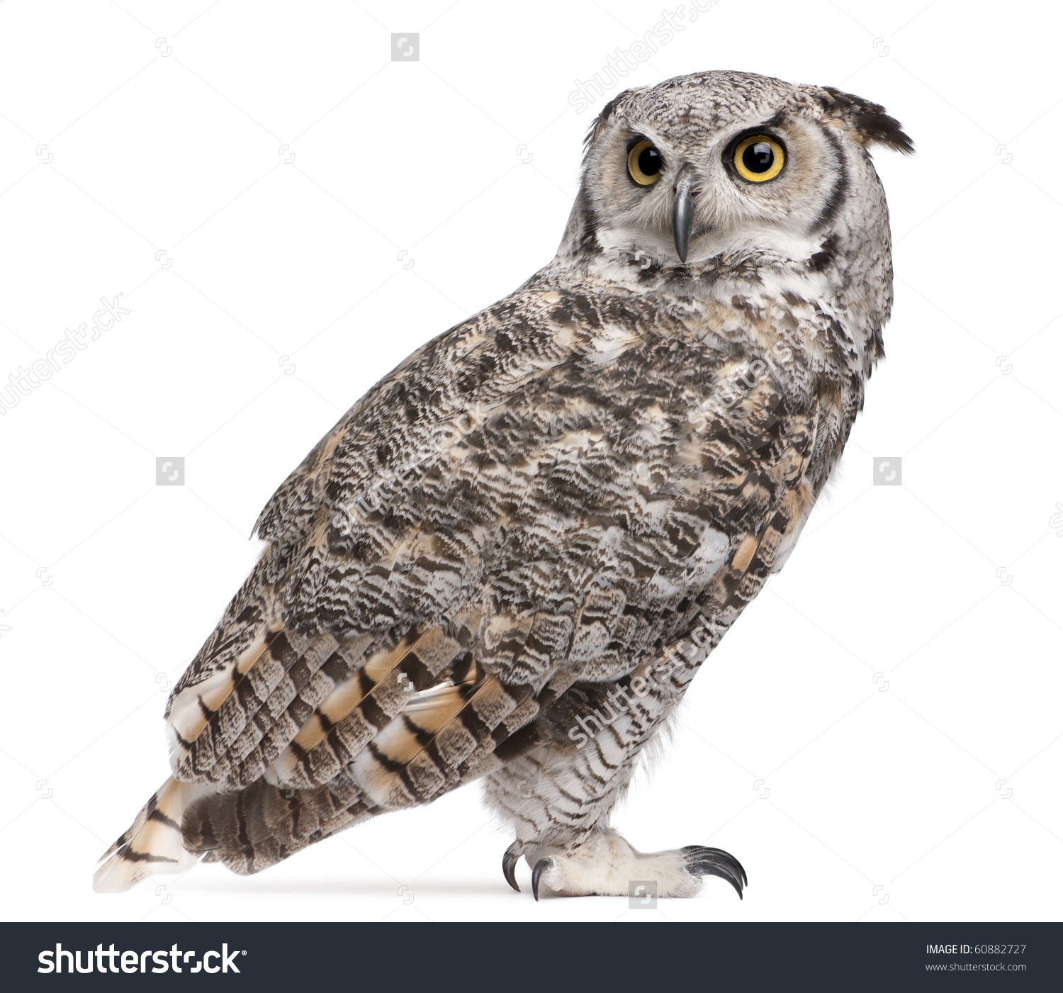 Horned Owl clipart #6, Download drawings