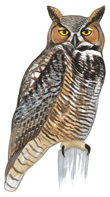 Horned Owl clipart #19, Download drawings