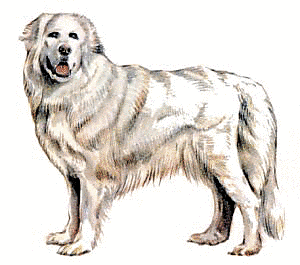 Great Pyrenees clipart #3, Download drawings