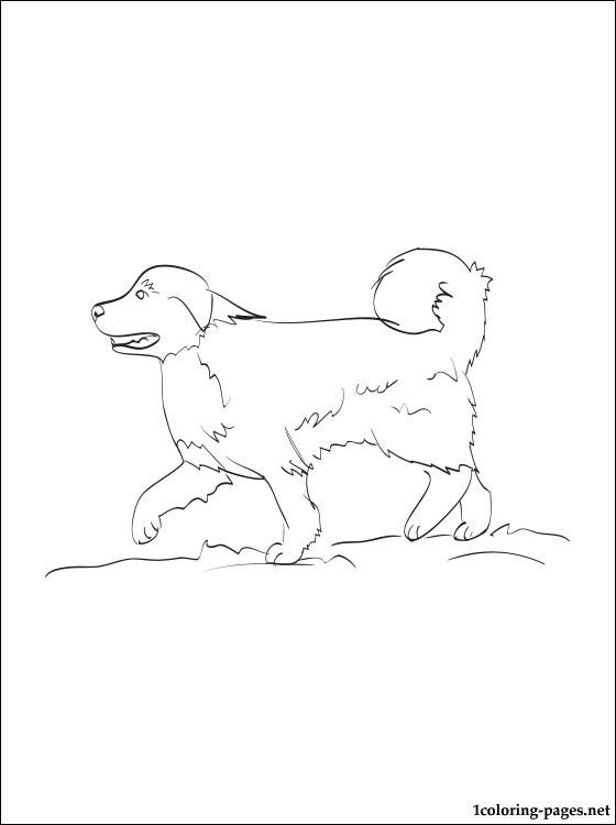 Great Pyrenees coloring #1, Download drawings