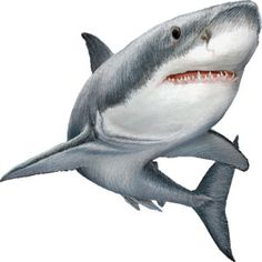 Great White Shark clipart #9, Download drawings
