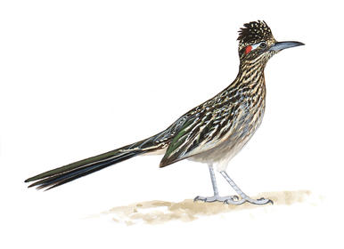 Greater Roadrunner clipart #19, Download drawings