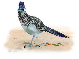 Greater Roadrunner clipart #14, Download drawings